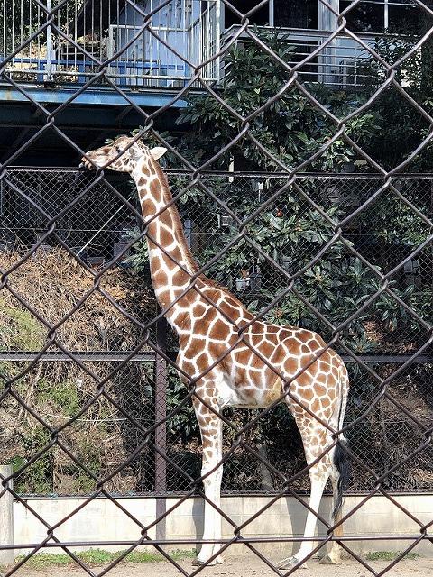 池田動物園・キリン