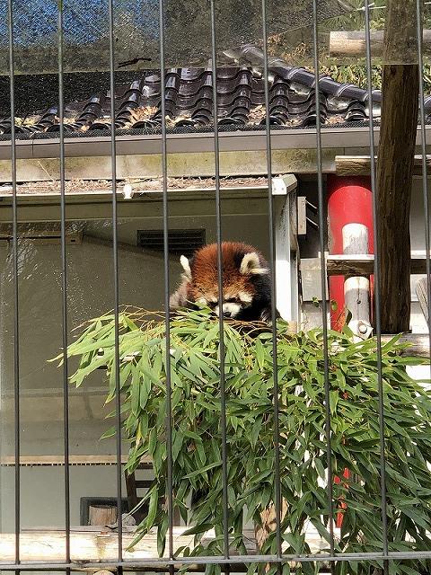 池田動物園・レッサーパンダ